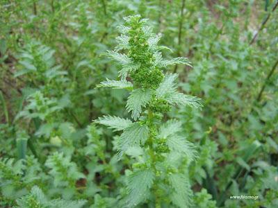 Συνταγές φυτικών παρασκευασμάτων για φυτοπροστασία