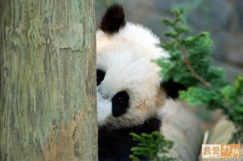 simpatica fotografia de osito panda escondido - osos pandas