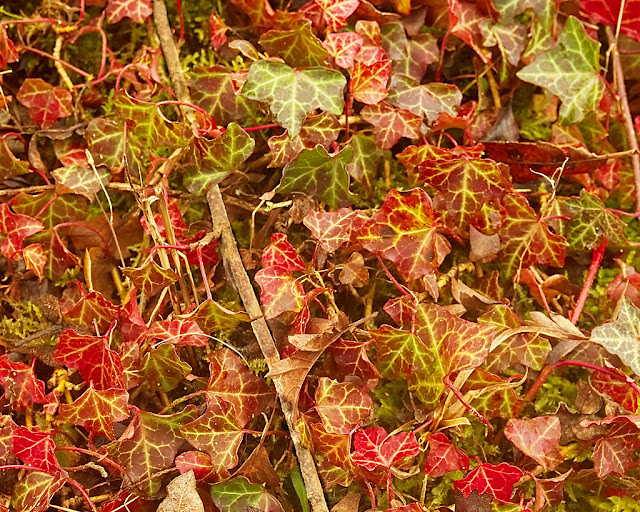 Ivy leaves all small many red growing on the ground