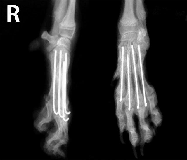 clavos dedos perros