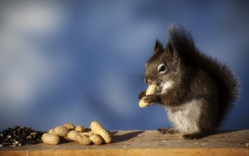 Wallpaper: Squirrel eating peanuts