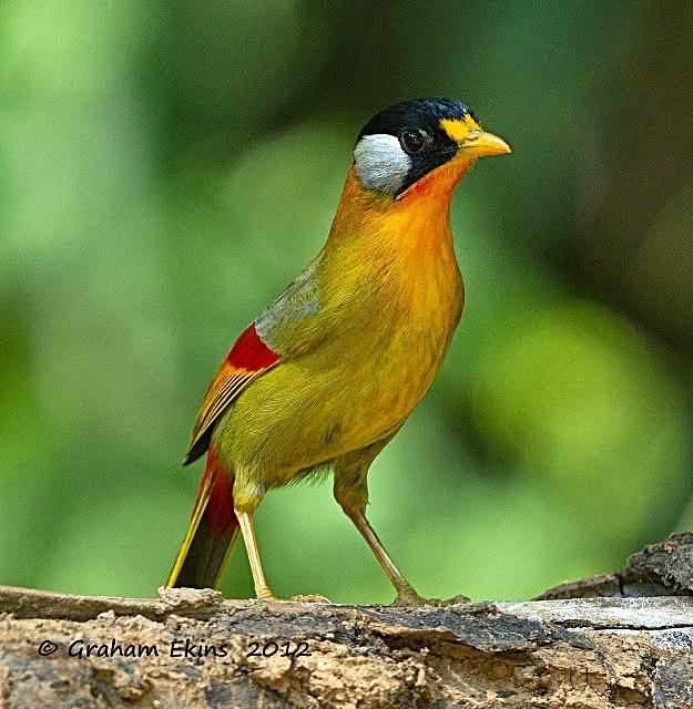 Mengenal Burung Pancawarna Ocehan Kenari