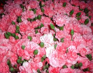 Bunga Carnation (Anyelir)  Kecantikan Yang Tak Tertahankan