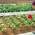 Giáo án mầm non chủ đề nhánh vườn rau nhà bé