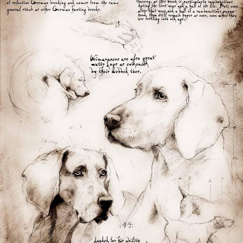 05-Weimaraner-Study-Leonardo-s-Dogs-Cats-and-Dogs-Drawn-in-the-style-of-Leonardo-da-Vinci
