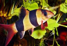 Jenis Ikan Hias Air Tawar Yang Mudah Dipelihara botia