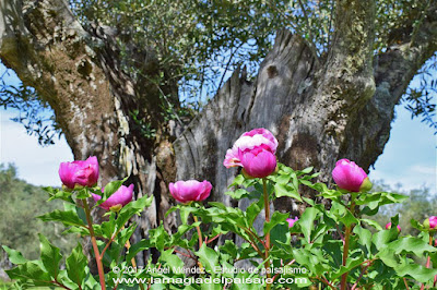 Rosa de Alejandría