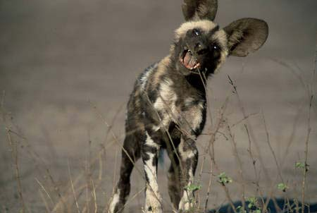 Funny+African+Wild+Dogs  - Collection of funny african wildlife photos