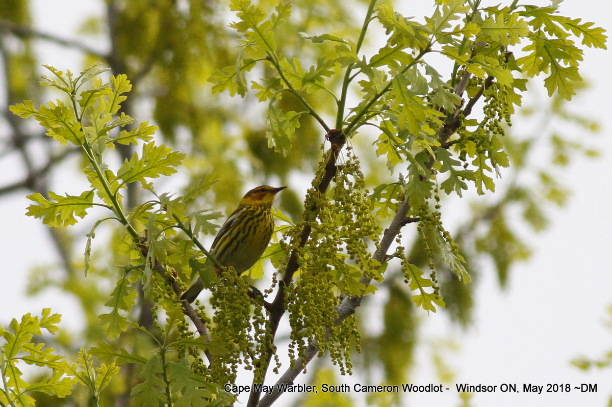 Nerdy for Birdy: Add Cape May Warbler to the Backyard Bird