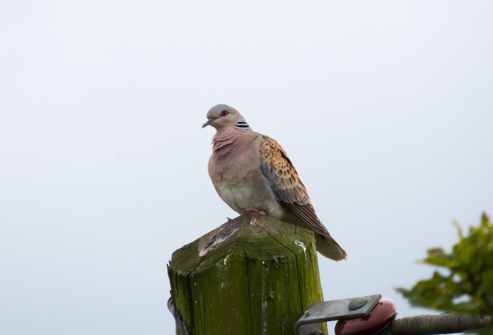 Turtle Dove - Otmoor RSPB, Oxfordshire
