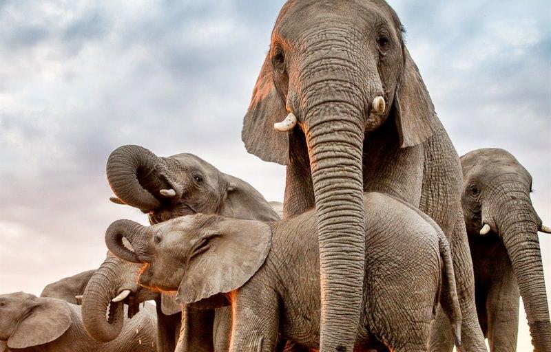 Timisa entre a manda de elefantes que a adotou