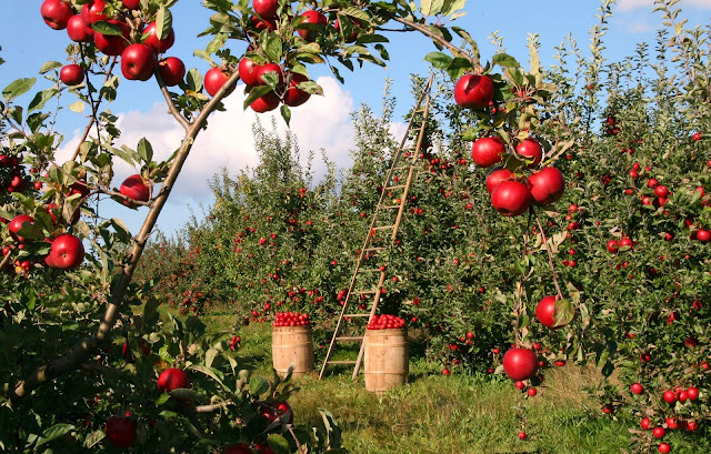 Apple Orchard, Working to bring in the harvest, Living From Glory To Glory Blog...