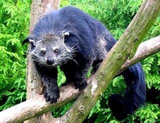Il simpatico orso gatto (binturong) - video