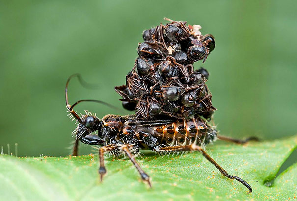 The Assassin Bug - The Ferocious Bug That Sucks Prey Dry And Wears Their Corpses