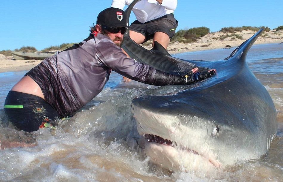 ... News: AUSTRALIA: monster giant thiger sharks caught from the shore