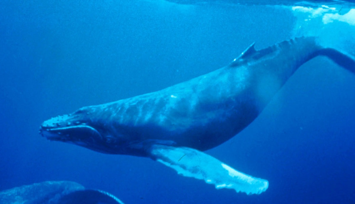 ¿Por qué las ballenas son tan grandes? La ciencia lo explica