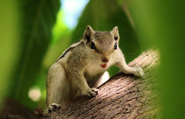 Squirrel Wallpapers | Best Wallpapers |Indian Squirrel Wallpaper