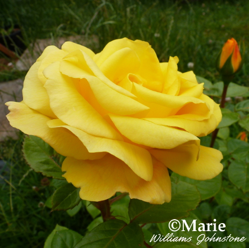 side view of yellow rose flower