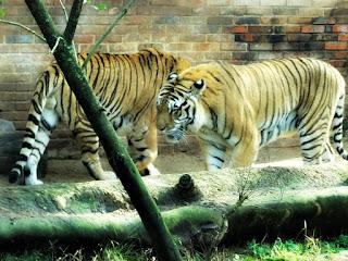 Tigres do Parque Zoológico de Sapucaia