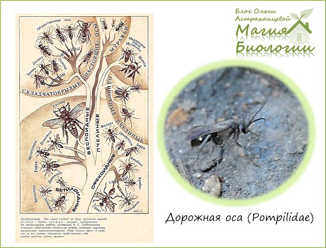 магия-биологии-дорожные осы