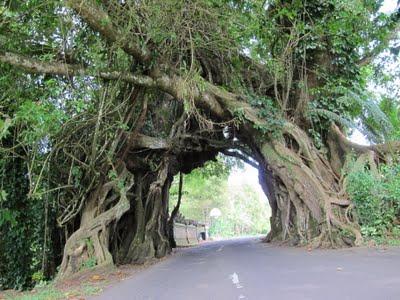 Pohon berlubang Pohon paling unik dan aneh di indonesia