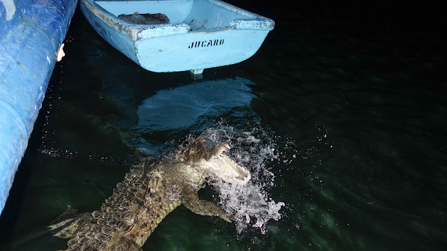 Cuban Crocodile attacks chicken in Cuba