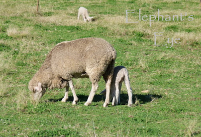 Sheep in Porterville