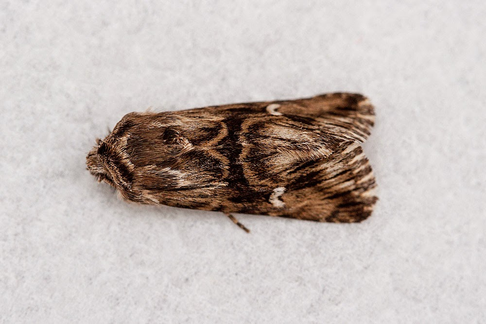 Toadflax Brocade - Margate, Kent