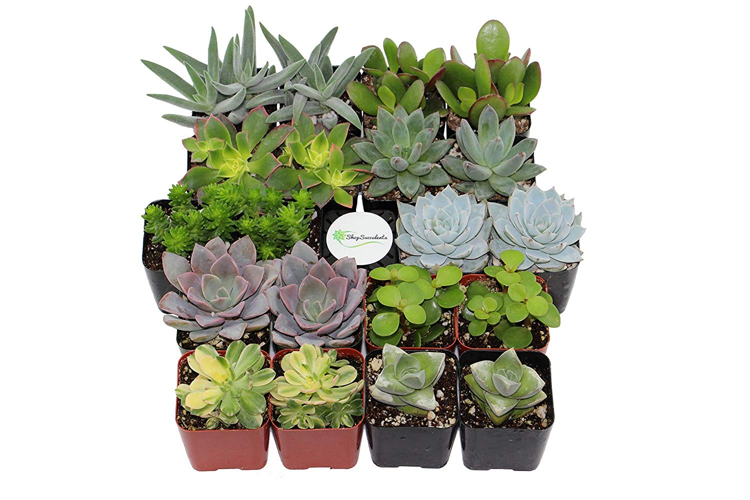 succulents for fairy gardens