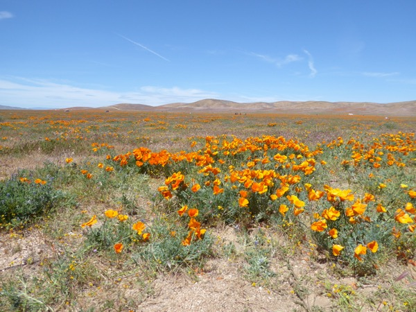 California wildflower bloom Antelope Valley