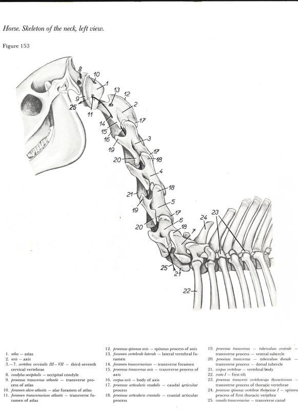 skeleton-anatomy-head-horse-equine-cavalo-egua-anatomia-pescoco