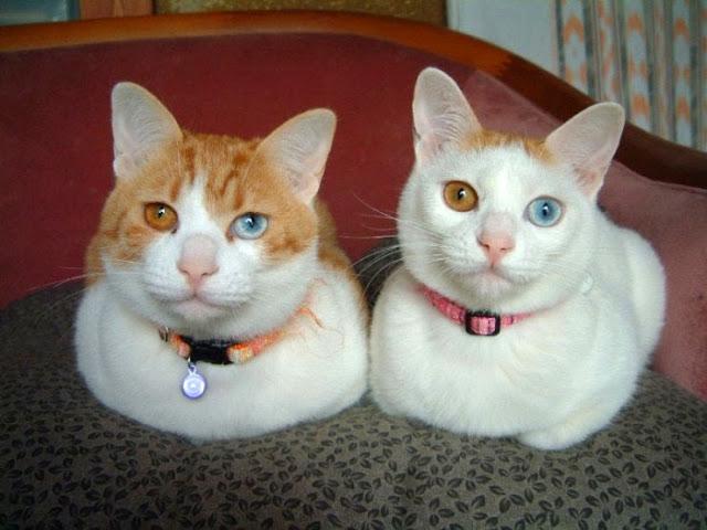 Resultado de imagem para Gato De Olho Ímpar