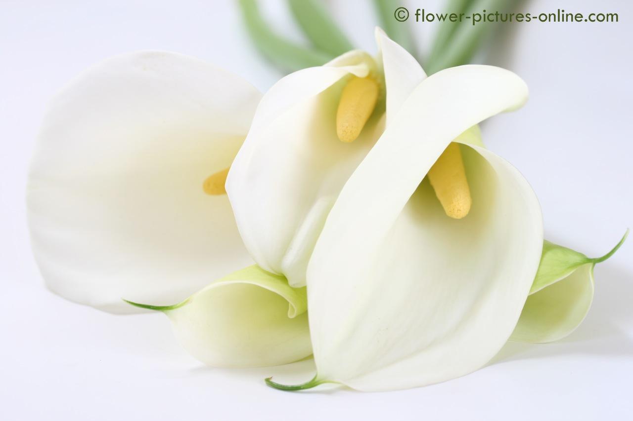 White Calla Lily Flower Widescreen Wallpaper (1280 X 853