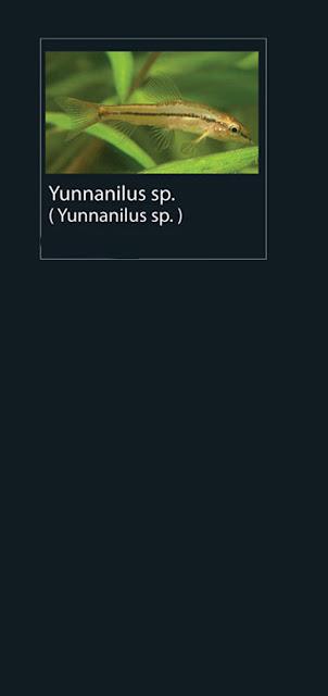 34. Yunnanilus sp  Nama Lain Yunnanilus sp