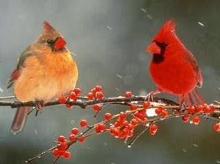 Burung Kardinal Merah