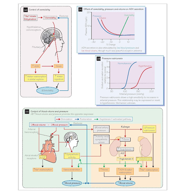 The Control Of Blood Volume