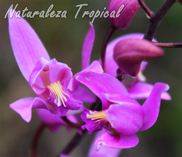 Orquídea terrestre muy resistente y con floraciones permanentes durante todo el año. Conocida como Candelaria o de Autopista. Bletia purpurea.