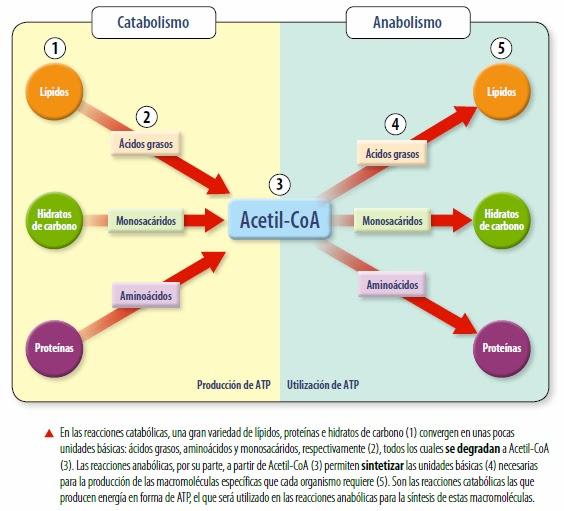 lecciones importantes sobre las recetas de la dieta del metabolismo acelerado (colección vital)