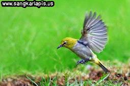 Cara Menangkap Burung Pleci di Alam Liar