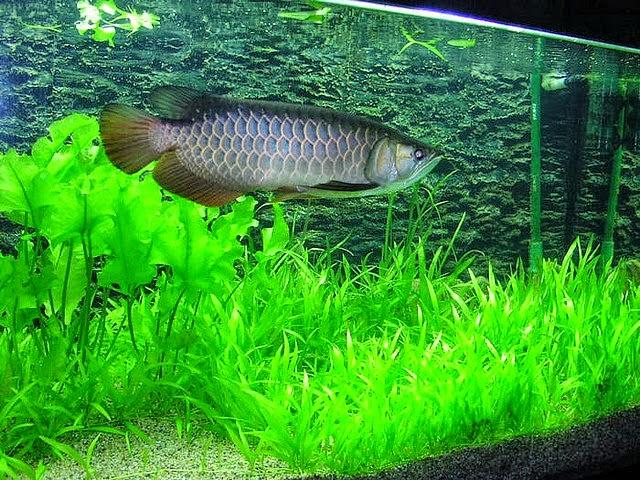 Tips Merawat Ikan Arwana di Akuarium - Dunia Akuarium