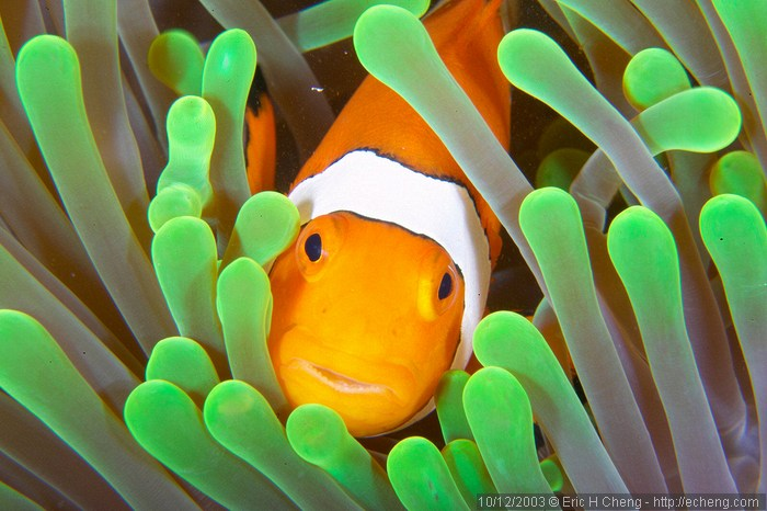 symbiotic relationship of sea anemone and clownfish