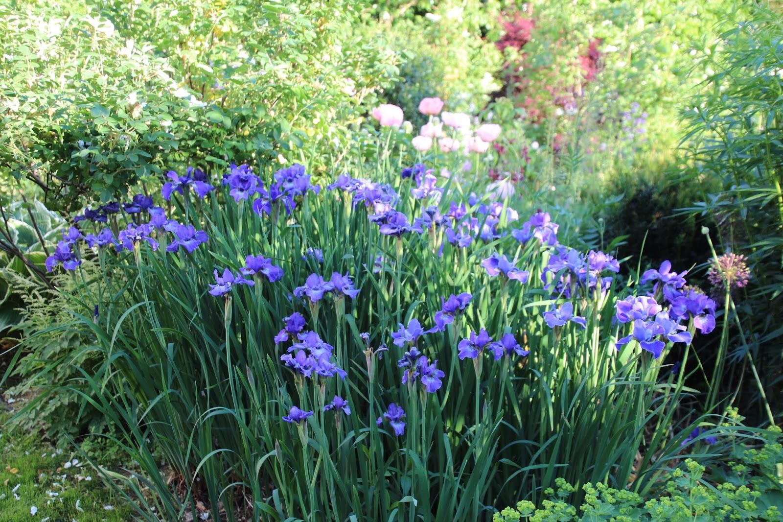 Strandiris Iris sibirica 'Silver Edge'