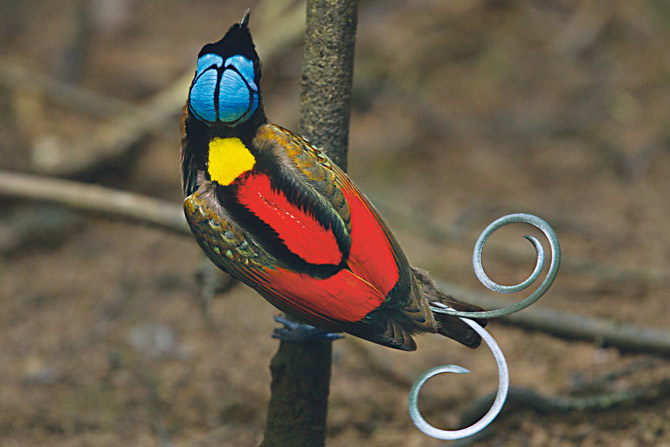 Birds of Paradise - Creations of Allah, that no one has seen