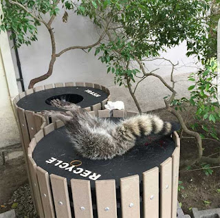 a raccoon stuck face first in a recycling bin