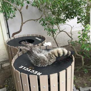 a raccoon stuck face first in a recycling bin
