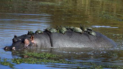 Makanan African Helmeted Turtle
