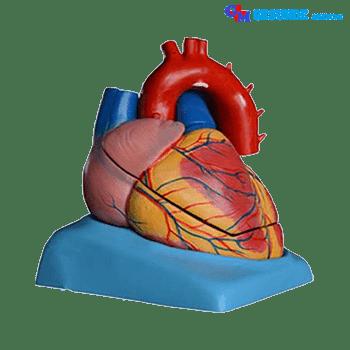 Torso Organ Tubuh Bagian Jantung