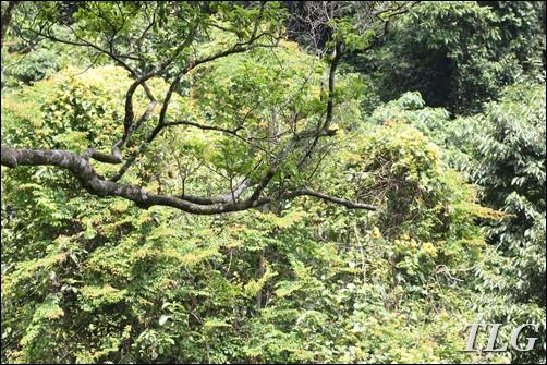 lên núi câu cua, câu cua, Tam đảo, cỏ cảnh, cỏ sân vườn, dương xỉ, tóc thần, tóc thần vệ nữ, ráng, ráng tổ chim, tổ phượng