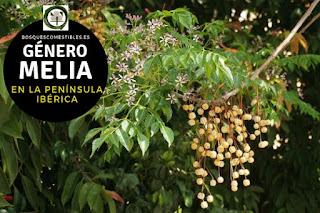 El género Melia son arboles que pueden llegar alcanzar 10 ó 15 m. de altura, con hojas alternas
