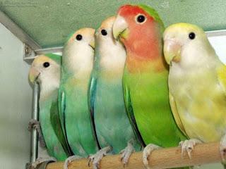 burung lovebird mengenal 4 jenis lovebird